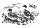 Clipart pintail