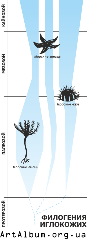 Clipart phylogeny of echinoderms russian