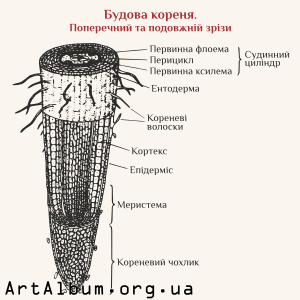 Clipart root structure in ukrainian